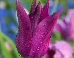 Tulipa Apospurple Dreamapos Lily Flowered Tulip Bulbs