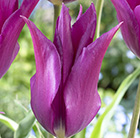 Tulipa Purple Dream