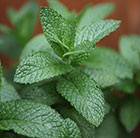 Mentha spicata English lamb