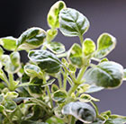 Origanum vulgare Country Cream