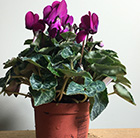 Cyclamen SS Verano Purple