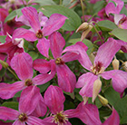 Clematis Wonderful ('Zo09073') (PBR)