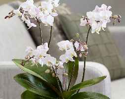 Image of Phalaenopsis 'Blush Pink Willd Orchid' (moth orchid)