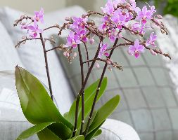 Image of Phalaenopsis 'Pink Willd Orchid' (moth orchid)