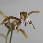 Indian cymbidium orchid