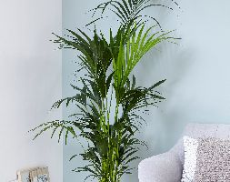 Click to view product details and reviews for Howea Forsteriana Kentia.