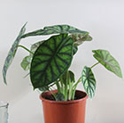 Alocasia Dragon Scale