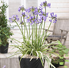 Agapanthus Silver Moon ('Notfred') (PBR)