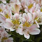 Alstroemeria Venus  Planet Series)