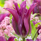 Tulipa Purple Doll