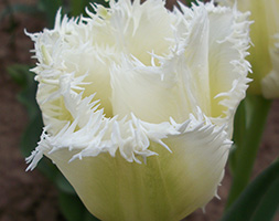 Click to view product details and reviews for Tulipa Aposhoneymoonapos Fringed Tulip Bulbs.
