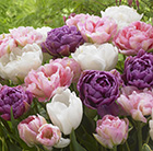Double tulip collection