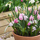Bulbs for pots - Pastels