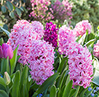 pink and purple tulips and  hyacinths