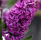 Hyacinthus orientalis Purple Sensation