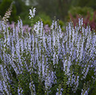 Salvia nemorosa Crystal Blue (PBR)