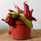 Nepenthes Bloody Mary (PBR)