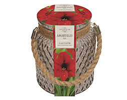 amaryllis 'Red Lion' and glass gift jar (Indoor amaryllis & glass jar)