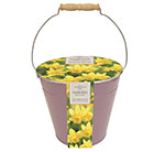 Narcissus Tete a Tete in a metal bucket