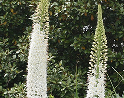 Click to view product details and reviews for Eremurus Aposjoannaapos Foxtail Lily Bulb.
