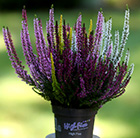 Calluna vulgaris high five mixed