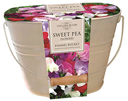 Sweet Peas In A Gift Bucket Sweet Pea With Enamel Bucket