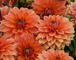 Click to view product details and reviews for Dahlia Apossummer Flameapos Natural Organic Dahlia Tuber.