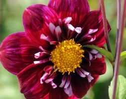Click to view product details and reviews for Dahlia Aposimpression Fantasticoapos Natural Organic Dahlia Tuber.