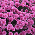 Chrysanthemum Jasoda Mauve (PBR)