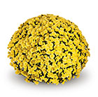 Chrysanthemum Jasoda Yellow (PBR)