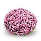 Chrysanthemum Jasoda Pink (PBR)