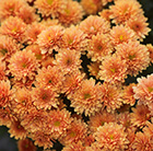 Chrysanthemum Jasoda Orange (PBR)
