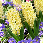Hyacinthus orientalis City of Haarlem