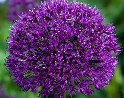 Allium hollandicum andapos;Purple Sensationandapos; (XL Land