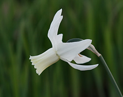 Click to view product details and reviews for Narcissus Aposthaliaapos Xl Landscaping Pack Of Bulbs.