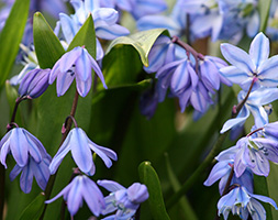 Click to view product details and reviews for Scilla Siberica Xl Landscaping Pack Of Bulbs.