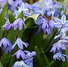 Scilla siberica - XL Landscaping pack
