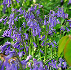 Hyacinthoides non-scripta - XL Landscaping pack