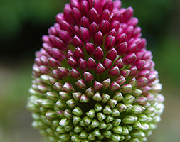 Allium Sphaerocephalon Xl Landscaping Pack Of Bulbs