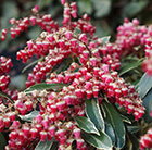 Pieris japonica Railto (PBR)