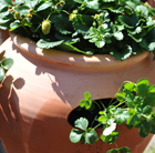 Terracotta strawberry pot