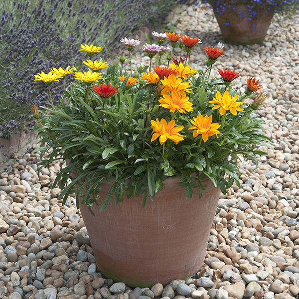 Kitchen garden terracotta pot