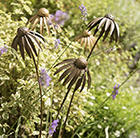 Echinacea plant stake - antique brass