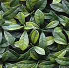 Easy hedge tiles Laurier prunus variegated