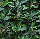 Easy hedge tiles photinia red robin