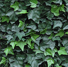 Easy hedge tiles hedera helix f1