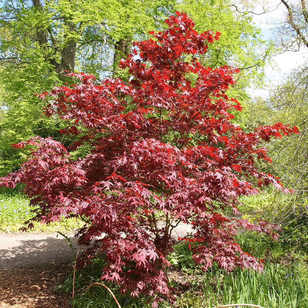 buy japanese maple acer palmatum 39 bloodgood 39 delivery by