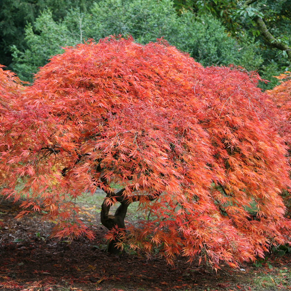 Image gallery japanese maple acer trees for Maple trees for small gardens