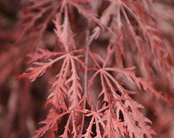 Click to view product details and reviews for Acer Palmatum Aposgarnetapos Japanese Maple.