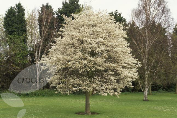 buy june berry amelanchier lamarckii delivery by waitrose. Black Bedroom Furniture Sets. Home Design Ideas